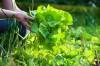 Bón thúc cho rau hữu cơ đúng cách